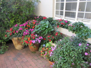 Riot of colour in pots and garden and
