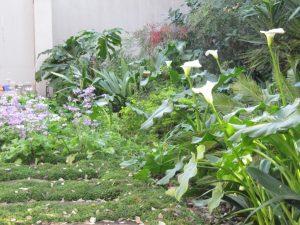 Arums and self-seeded primulas