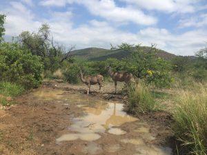 Kudu drinking at a puddle Source: Liz at Lancaster