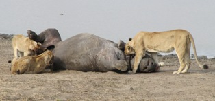 lions-in-black-rhino-email