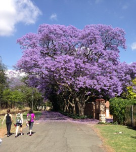 The Jacarandas are particularly beautiful this year