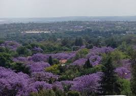 Looking over the purple canopies from Munro Drive north to Sandton