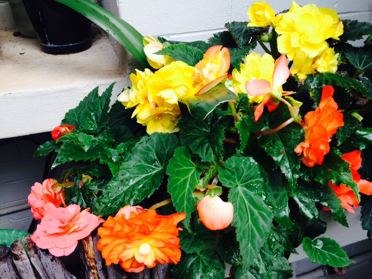 Natural Food For Begonias