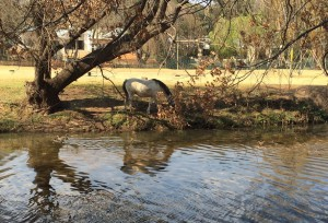 2016 July Horse in water cropped