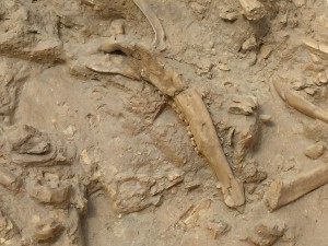 Jaw bone of a sivathere