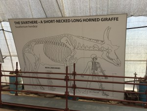 Information boards at the dig site showing diagram of a sivathere