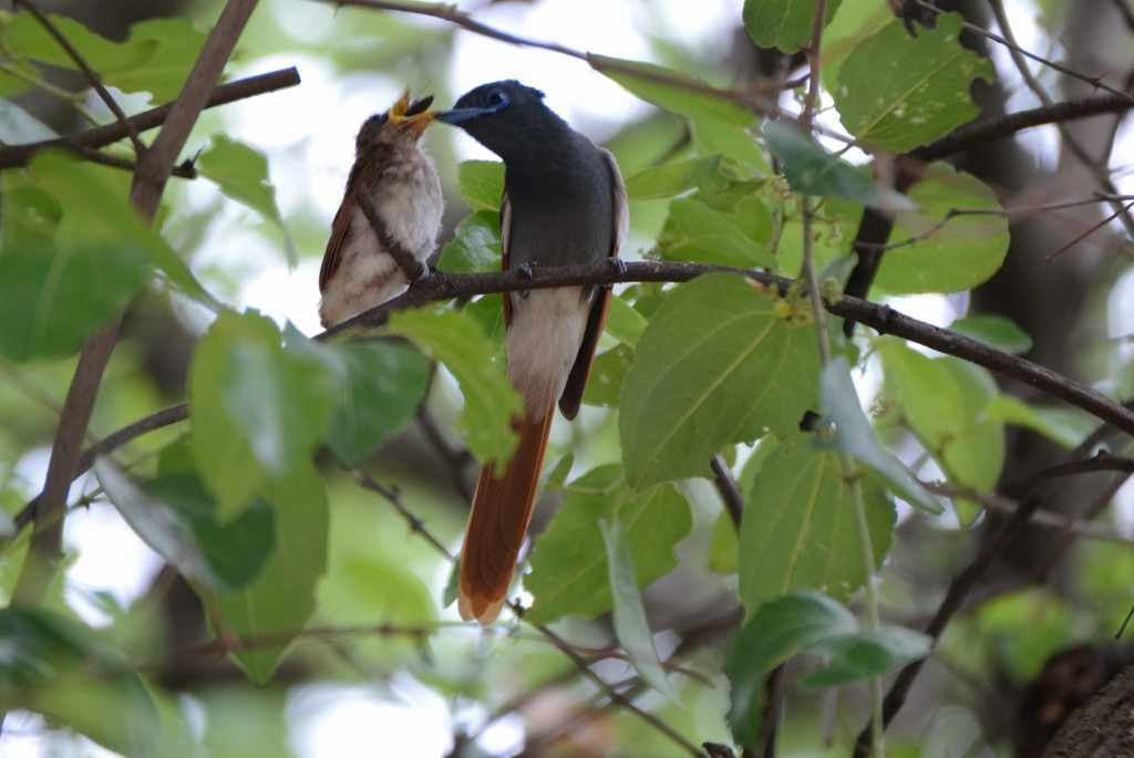 Baby Paradise Flycatcher being fed by its mother. Source:A. Delmont