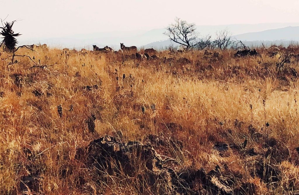 Zebra on a Hill Crest